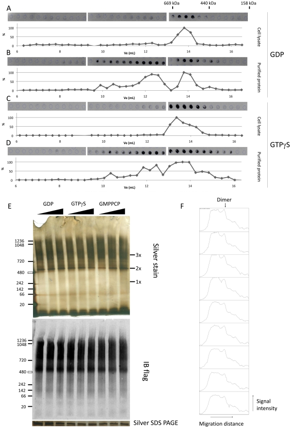 Influence of guanine nucleotides on macromolecular properties of LRRK2. A–D. Size exclusion chromatography elution profiles of LRRK2 in cell lysates or purified LRRK2 in the presence of GDP or GTPγS. 3xflag LRRK2 was expressed by transient transfection in HEK293T cells. Cleared cell lysates (A C) or purified protein (B D) were prepared as described in Materials and Methods and submitted to SEC in the presence of 10 µM of either GDP (A B) or GTPγS (C D). LRRK2 elution profiles were obtained by measuring LRRK2 levels in each elution fraction via immuno dot blot and are displayed as relative signal intensity in function of the elution volume, as described in Materials and Methods . The elution peaks of the protein standards are indicated above the dot blot of panel A. E–F. Native PAGE of LRRK2 purified from lysates loaded with different concentrations of nucleotides. 3xflag tagged LRRK2 was expressed in HEK293T cells via transient transfection. Cells were lysed at 48 h post-transfection and incubated with varying concentrations of GDP, GTPγS or GMPPCP (10, 100 and 500 µM) for 30 minutes at 30°C. Treated lysates were purified as described in materials and methods and separated via native PAGE. Gels were silver stained (top panel) or blotted onto PVDF membranes to detect flag immunoreactivity E. LRRK2 protein amounts visualized via silver staining on SDS-PAGE are shown under the native PAGE images. F. Signal intensity plotted against migration distance for each lane. The arrow marks the peak corresponding to the band which migrates at the predicted size of a LRRK2 dimer. Data are representative of 3 experiments.