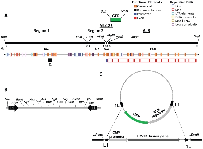 Cloning and recombination strategies. A: Rat Alb and its upstream region. Using restriction sites in the pLL1 linker, GFP was combined with Alb123, Region 1 (a NarI – XhoI segment from −13.7 to −3.9 kb), Region 2 (a segment from −3.9 to −0.2 kb, generated by PCR that added terminal FseI and PstI sites), and Alb123 (−0.2 to the transcription start, with terminal PstI and BglII sites) in a series of reporter plasmids. The 16.5-kb Alb gene was cloned by joining a 4.4 kb proximal segment (transcription start to SmaI , amplified by PCR that added an SgfI site) and a 12.1 kb distal segment ( SmaI – EagI ). To insert the Alb123-GFP reporter as an FseI – SmaI segment, the Alb -containing plasmid was cut with FseI and SgfI , and blunted at the latter site. The resulting reporter plasmids ranged from 4–40 kb ( Table S1 ). B: Schematic map of the 290 bp linker showing the restriction sites for locus assembly. C: Mechanism of RMCE. The targeting cassette encodes an HY-TK fusion protein that makes the cell sensitive to Gancyclovir. Integration of reporter constructs in pLL1 or pLL2 occurs via Cre-mediated recombination, and can take place in two orientations due to the inverted arrangement of the LoxP sites [32] . Loss of the HY-TK gene renders the integrant cells resistant to Gancyclovir.