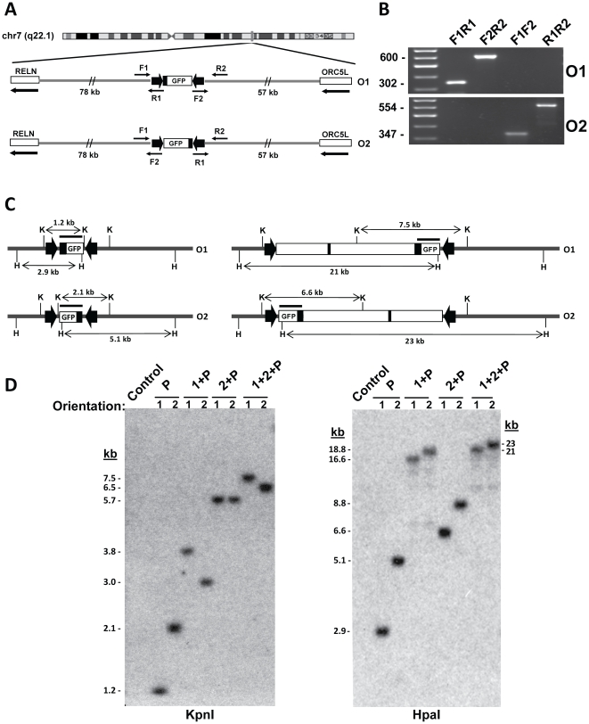 Characterization of integrated constructs. A: Chromosomal location of the targeting cassette in HuH7-9. Maps show representative integration of the 1.2-kb plasmid P. Plasmids may integrate in two orientations (O1, O2) between RELN and ORC5 , respectively, in the same or opposite direction as transcription of both genes (arrows). PCR using primers R1 and F2 (from LoxP), and F1 and R2 (from flanking chromosomal regions), demonstrated that the integrant ends were intact and determined orientation. B: Representative PCR screening of integrants. O1 amplimersare F1 – R1 (302 bp) and F2 – R2 (599 bp). O2 amplimersare F1 – R2 (347 bp) and F2 – R1 (554 bp). C: Representative maps showing predicted Southern blot bands of integrated constructs P and 1+2+P obtained with KpnI (K) and HpaI (H). The hybridization probe is marked as a bar over the promoter-GFP region, and the promoter and known enhancer are marked in black. D: Southern blot mapping of eight integrated constructs. The blots (left, KpnI ; right, HpaI digests) were probed with a 1.2 kb FseI - SmaI segment of plasmid P. The expected band sizes are listed in Table S3 .