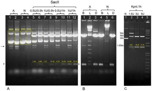 """NID-extracted DNA of both high and low copy number plasmids perform well in common downstream applications. ( A ) Restriction endonuclease digestion of the high copy number pLTM330 plasmid containing 2 SacI sites separated by approximately 400 bp. extracted by either alkali or NIDs. XL1-Blue cells harboring pLTM330 in 1.5 ml LB cultures were used for isolation. After alcohol precipitation, alkali DNA pellets were rinsed with 0.5 ml ethanol and dissolved in 40 µl TE buffer, but NID DNA pellets were directly dissolved in 40 µl TE buffer. 9 µl aliquots of native DNA of two independently isolated samples were loaded in lanes 1, 2 (alkali, A) and lanes 3, 4 (NID, N). Densitometry analysis is reported for lanes 1–4. 9 µl DNA was also used for every DNA restriction and ligation reaction in 11 µl total volume. Restriction digests with the indicated amount of restriction enzyme for the indicated length of incubation at 37°C are shown in lanes 5, 7, 9, 11 for the alkali method and lanes 6, 8, 10, 12 for the NID protocol. Arrow indicates """"irreversibly denatured"""" DNA [1] , [25] , [29] . Arrowhead indicates the 400 bp band, and densitometry analysis of this band is reported for lanes 5–12. DNA restriction reactions were carried out in NEB1 buffer. ( B ) Plasmid samples digested using 2u SacI for 1 hour (lanes 1,4) were ligated using 0.1 Weiss unit T4 DNA ligase at 15°C for 30 minutes (lanes 2,5). Ligation products were then re-digested using 2u SacI for 1 hour (lanes 3,6). DNA restriction and ligation reactions were carried out in NEB1 buffer, but 1 mM ATP was added for the ligation reactions. Arrowhead indicates 400 bp band. B = cut sample. L = ligated sample. D = re-cut sample. Lane 2 shows the intermediate ligation products of the 400 bp DNA fragment in lane 1. ( C ) DH5α cells harboring the low copy number plasmid pEL04, containing 2 KpnI sites separated by approximately 1.5 Kb. NID plasmid isolation was performed as reported in Materials and Methods , except that lysozyme c"""
