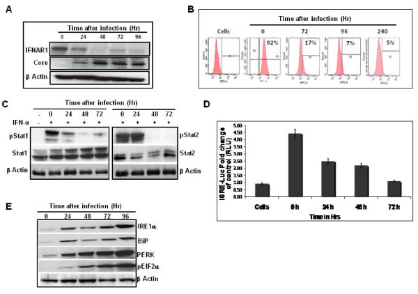 HCV infection down-regulate IFNAR1 and induces defective Jak-Stat signaling through ER-stress mechanisms . ( A ) Cured S-5/15 Huh-7 cells were infected with cell culture derived HCV. Infected and uninfected cells were collected at different time points (0 to 96 hrs) and examined for mature form of IFNAR1 protein by Western blot analysis. ( B ) The cellular expression of IFNAR1 in the uninfected and infected Huh-7 cells was examined by Flow analysis at different time (0 to 240 hrs). The percentage of positive cells at each time point indicates the cells having the IFNAR1 expression. The peak shifts with time. ( C ) The phosphorylation of Stat1 and Stat2 protein in the HCV transfected Huh-7 cells was examined by Western blot analysis. The cells were treated with IFN-α for 30 minutes prior to lysis for detection of phosphoproteins. The beta actin in all the blots was used as loading control. ( D ) Jak-Stat signaling of HCV transfected Huh-7 cells was examined at different time points using a Firefly Luciferase activity of interferon-beta promoter. ( E ) HCV replicating Huh-7 cells were collected at different time intervals (0 to 96 hrs), protein extracts were examined for the activation of ER-stress response using panel of monoclonal and polyclonal antibodies to IRE1-α, Bip, PERK and phospho EIF2-α. Beta actin level were measured to assure, that equal amounts of proteins were loaded onto the SDS-PAGE gel are used in the Western blotting.