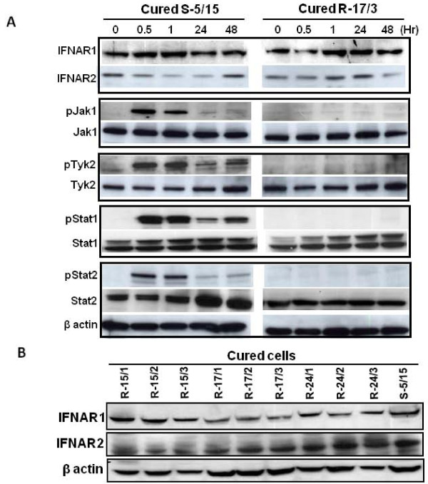 Western blot analysis of Jak-Stat signaling between S-5/15 and R-17/3 cell line . An equal number of S-5/15 and R-17/3 Huh-7 cells were treated with IFN-α 2 b (1000 IU/ml). Cells were harvested at different time intervals (in hrs) by trypsin-EDTA treatment, washed in PBS. Western blot analysis was performed using antibodies to IFNAR1, IFNAR2, pJak1, Jak1, pTyk2, Tyk2, pStat1, Stat1, pStat2, Stat2 and β-actin and then blots were developed by ECL kit. ( A) Expression level of Jak-Stat proteins between the two cell lines. Left panel shows the expression of Jak-Stat signaling proteins in the IFN-α sensitive Huh-7 cell line (S-5/15). Right panel shows the expression of Jak-Stat signaling proteins in the IFN-α resistant Huh-7 cell line (R-17/3). The level of β-actin protein in the blot indicated that equal amounts of protein lysate were loaded onto the gel in the Western analysis. (B) Show the expression of fully glycosylated mature form of IFNAR1 (~100 kD) and IFNAR2 (~90 kD) in all nine of different IFN-α resistant cell lines and one sensitive Huh-7 cell line (S-5/15) by Western blot analysis.