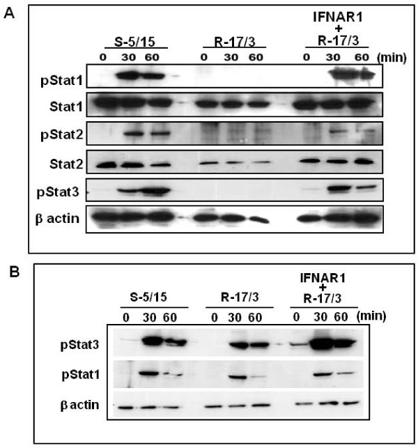 Stable expression of IFNAR1 restored the phosphorylation Stat proteins in the cured resistant Huh-7 cell line (R-17/3) . The cured Huh-7 cell line (S-5/15) and (R-17/3) in culture were treated either with IFN-α 2 b (1000 IU/ml) or IL6 (50 ng/ml) and cells were harvested after 30 and 60 minutes. Ten micrograms of protein lysate was run on a NuPAGE 4-12% gel and immunoblotting was used to determine pStat1, pStat2 and pStat3 levels. ( A) Phosphorylation of Stat1, Stat2 and Stat3 proteins in the sensitive and resistant Huh-7 cells. Left panel shows that IFN-α induced phosphorylation Stat1, Stat2, Stat3 proteins in S-5/15 cells. Middle panel shows the lack of phosphorylation of Stat1 and Stat2 in the R-17/3 cell line after treatment with IFN-α. Right panel shows that the stable transfection of R-17/3 cells with IFNAR1 restores the Stat1 and Stat2 phosphorylation by IFN-α treatment. Total Stat1 and Stat2 levels were indistinguishable. ( B) Shows that IL-6 induced phosphorylation of Stat1 and Stat3 in Jak-Stat sensitive and defective Huh-7 cells.