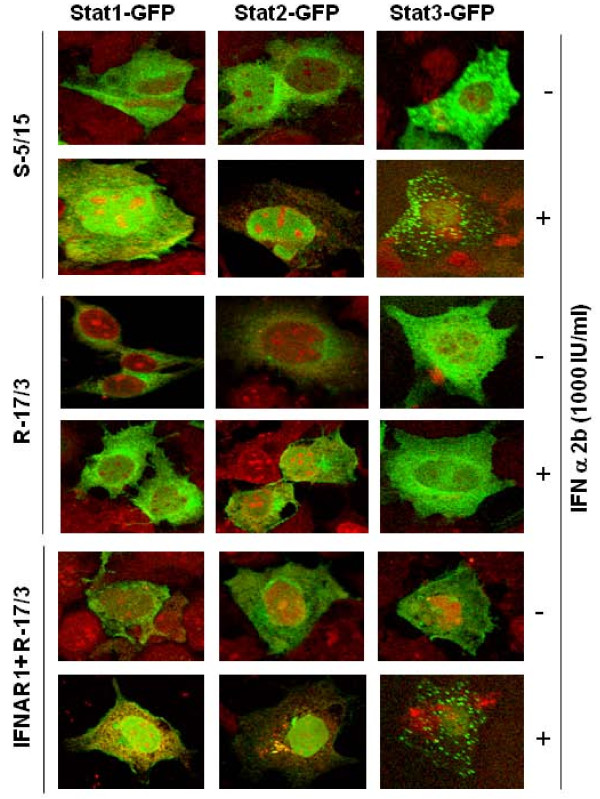 Confocal microscopy showing the nuclear translocation of Stat1, Stat2 and Stat3-GFP in sensitive and resistant Huh-7 cells after IFN-α treatment . IFN-sensitive (S-5/15) and IFN-resistant (R-17/3)) cells were transfected with plasmid containing the Stat1-GFP, Stat2-GFP or Stat3-GFP. IFN-α 2 b (1000 IU/ml) was added after 48-hours of transfection and images were captured after 30 minutes of treatment. The nuclear translocation of each STAT-GFP construct with or without IFN-α treatment in the sensitive and resistant cells was examined under a confocal microscope. The images are represented as the superimposition of Green Fluorescent Protein (green), To-Pro3 633 (far red).