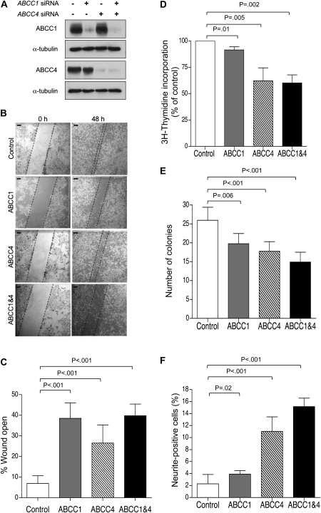 Impact of ABCC1 and ABCC4 suppression in BE(2)-C human neuroblastoma cells. A ) Western blot analysis of ABCC1 and ABCC4 protein expression following exposure of BE(2)-C cells to ABCC1 - and ABCC4 -specific siRNA molecules, alone or in combination, or to control siRNA (lane 1). B ) Representative images of wound closure assay; Scale bar = 125 μm. C ) Quantification demonstrating impaired motility of BE(2)-C cells depleted of ABCC1, ABCC4, or both, as measured by wound closure assay for 48 hours. D ) 3 H-thymidine incorporation assay in BE(2)-C cells depleted of ABCC1, ABCC4, or both. E ) Clonogenic capacity of BE(2)-C cells upon depletion of ABCC1 and ABCC4 was assayed after 10 days. F ) Neurite extension in BE(2)-C cells upon depletion of ABCC1 and ABCC4. In panels ( C ), ( E ), and ( F ), P values were derived from two-sided Student t test vs control, whereas one-sample t test (H 0 , μ = 100%) was used in panel ( D ). Means are derived from at least three independent experiments. Error bars represent 95% confidence intervals. ABCC = ATP-binding cassette, sub family C ; siRNA = short interfering RNA.