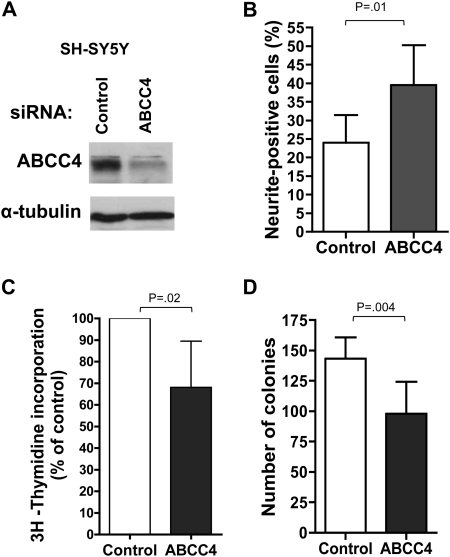 Impact of ABCC4 suppression in SH-SY5Y neuroblastoma cells. A ) Western blot analysis of ABCC4 protein expression following exposure of SH-SY5Y cells to ABCC4 -specific SMARTpool siRNA, or to control siRNA. B ) Enhanced neurite extension in SH-SY5Y cells upon depletion of ABCC4. C ) 3 H-thymidine incorporation in SH-SY5Y cells depleted of ABCC4. D ) Clonogenic capacity upon depletion of ABCC4 was assayed after 12 days. In panel ( B ) and ( D ), P values were derived from two-sided Student t test vs control, whereas one-sample t test was used in panel ( C ) (H 0 , μ = 100%). Means are derived from three replicate experiments and error bars represent 95% confidence intervals. ABCC4 = ATP-binding cassette, subfamily C, member 4; siRNA = short interfering RNA.
