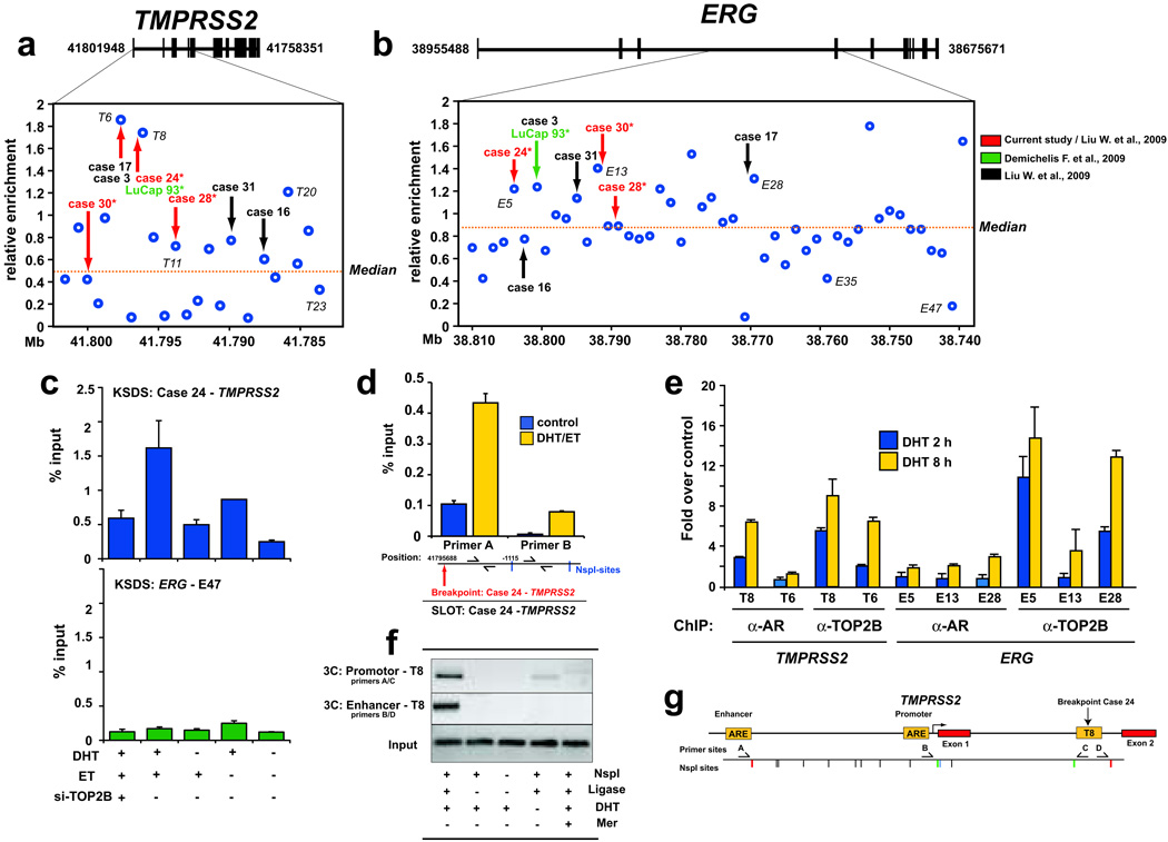 Androgen stimulation induces AR/TOP2B recruitment and TOP2B catalytic cleavage at genomic breakpoints of TMPRSS2 and ERG observed in human PCa. a–b , Sites closest to TMPRSS2-ERG breakpoints from 8 PCa cases determined from various studies (arrows) were significantly enriched for high KSDS enrichment of TOP2 catalytic cleavage (p = 0.010 and 0.013 respectively) in LAPC4 cells. Labeled sites (e.g., T8, T23, E5, E13, etc.) are analyzed in subsequent experiments. c , DHT and TOP2B dependent TOP2 catalytic cleavage in LAPC4 cells around the case 24 breakpoint aligning with region T8 (upper panel). The lack of KSDS enrichment at region E47 at ERG was re-confirmed in an independent KSDS experiment (lower panel). d , SLOT assay showed that DHT-induced TOP2 catalytic activity in LAPC4 cells was significantly higher at an NspI fragment most proximal to the TMPRSS2 breakpoint observed in case 24 than to the adjacent, more distal NspI fragment (see Supplementary Fig. 8, 9 for overview of SLOT). e , ChIP enrichment of AR and TOP2B at representative TOP2 catalytic cleavage sites in DHT-stimulated LAPC4 cells relative to untreated controls. f–g , 3C analysis reveals DHT-dependent spatial chromatin interaction of TMPRSS2 enhancer and promoter with region T8 (see first lane vs. fourth lane). Omission of NspI restriction enzyme and/or DNA ligase served as assay negative controls. Inhibition with Mer prevented these DHT-induced interactions. Error bars indicate ± SE of two to three experiments.