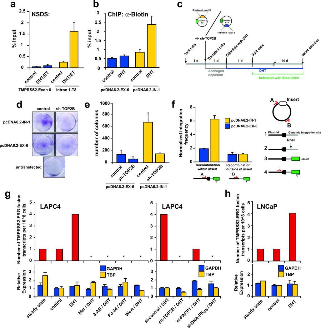 Androgen-induced TOP2B mediated DSB are recombinogenic and promote de novo production of TMPRSS2-ERG fusion genes. a , Selection of TMPRSS2 regions showing high (Intron 1-T8) and low ( TMPRSS2 -Exon 6) KSDS enrichment in response to DHT stimulation of LAPC4 cells. b , DHT-induced breaks can be detected in plasmids containing sequences surrounding region T8 of TMPRSS2 intron 1 (pcDNA6.2-IN-1) as evidenced by increased biotin labeling in DHT stimulated LAPC4 cells transfected with this plasmid. Plasmids containing TMPRSS2 exon 6 (pcDNA6.2-EX-6) served as a negative control. c , Schematic of androgen-induced genomic recombination assay in LAPC4 cells transfected with pcDNA6.2-IN-1 or pcDNA6.2-EX-6, which contain a blasticidin resistance gene. Number of colonies represents the number of recombination events allowing integration of the blasticidin resistance vectors into the LAPC4 genome. d , Representative results of genomic recombination assays. e , pcDNA6.2-IN-1 transfected LAPC4 cells produced significantly more androgen induced recombination events than pcDNA6.2-EX-6 transfected cells. Treatment with sh-TOP2B abolished this effect. f , While both showed similar recombination frequency at the vector backbone, recombination frequency within the IN-1 insert was significantly higher than that in the EX-6 insert in pooled colonies as determined using the strategy shown on the right. Data are shown as mean ± SE of two to three replicates. g , DHT-stimulation of LAPC4 cells leads to increased TMPRSS2-ERG fusion transcripts compared to background levels in LAPC4 cells grown in androgen-containing (steady-state) or androgen-deprived (control) media. Pharmacological or genetic modulation of TOP2B (Mer, sh-TOP2B), PARP1 (3-AB, PJ-34, si-PARP1), or DNA-PK CS (Wort, si-DNA-PK CS ), reduces TMPRSS2-ERG fusion transcripts without significantly altering GAPDH or TBP expression. h , DHT-stimulation leads to de novo formation of TMPRSS2-ERG fusion transcripts in LNCaP cells.