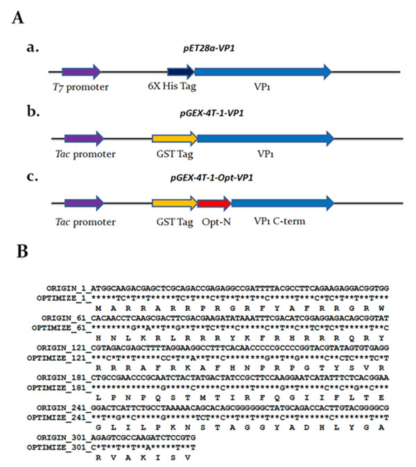 Schematic diagram of the constructs used for CVA VP1 protein expression . (A) Schematic representation of the VP1 protein variants and expression vectors used in this study. The designations of the VP1 protein and its expression vectors are indicated, a, b and c. The first two constructs, a and b, contained the full-length VP1 gene cloned into vectors pET28a and pGEX-4T-1, for expression of VP1 protein with a six-histidine (6 × His) tag and glutathione-s-transferase (GST) tag at its N-terminus, respectively. Construct c contained VP1 gene with codon-optimized at its N-terminus; this was derived from construct b by replacing the rare codons in the area 1-321 bp without altering amino acid sequence. The N-terminal codon-optimized VP1 gene, opt-N, was fused with C-terminal domain of VP1 gene (VP1 C-term) by overlapping PCR, and then cloned into pGEX-4T-1. (B) Sequence comparison between the WT VP1 and Opt VP1 gene. The nucleotide sequences were compared between the original VP1 gene (WT VP1) and the sequence of codon-optimized VP1 gene (Opt VP1) over the N-terminal region. An asterisk ( * ) represents the fact that the aligned nucleotides are identical.