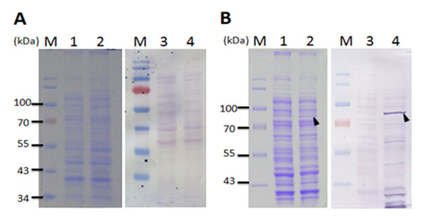 VP1 protein expression in E. coli using various expression vectors . The VP1 protein expression in E. coli BL21(DE3) using the expression vectors, pET28a (A) and pGEX-4T-1 (B) was analyzed by SDS-PAGE and Western-blotting. Anti-His tag and anti-GST tag monoclonal antibody were respectively used for the recognition of differently tagged VP1 proteins expressed by the different expression vectors used. Lane M, pre-stained protein marker; lane 1 and lane 3, before IPTG induction; lane 2 and 4, after IPTG induction for 4 h cultivation. The solid triangle pinpoints the expressed VP1 protein.