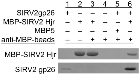 SIRV2 Hjr interacts with SIRV2gp26 coat protein in vitro . The interaction of MBP-Hjr and SIRV2gp26 coat protein was confirmed by immunoprecipitation. Protein complexes were eluted and analyzed by SDS-PAGE stained with Coomasie Blue dye: Lane 1: SIRV2gp26. Lane 2: MBP-Hjr. Lane 3: anti-MBP beads:MBP-Hjr. Lane 4: anti-MBP beads. Lane 5: anti-MBP beads:MBP5+SIRV2gp26. Lane 6: anti-MBP beads:MBP-Hjr+SIRV2gp26.