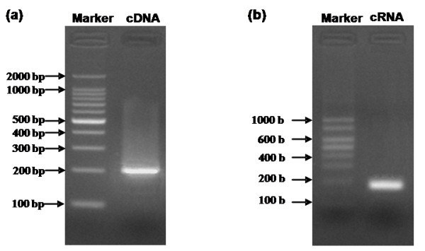 Agarose gel electrophoresis of cDNA template (a) and cRNA standard (b) . (a) 1% agarose gel electrophoresis of cDNA template synthesized by RT-PCR. Complementary DNA (cDNA) template with a length of 201 bp synthesized using viral RNA as template by reverse-transcriptase and subsequently amplified by PCR. Marker: 100 bp DNA Ladders. (b) 3% agarose gel electrophoresis of cRNA standard. Complementary RNA (cRNA) standard with a length of 184 b synthesized using the amplified cDNA as a template by in vitro transcription. Marker: RNA Marker RL1,000.