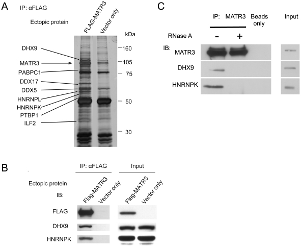Identification of novel MATR3 interactors. ( A ) FLAG-MATR3 was expressed in HEK293T cells and immunoprecipitated using anti-FLAG conjugated beads. Immune complexes were separated by SDS-PAGE and visualized with silver staining. Cells with empty vector allowed discrimination between specific and non-specific immunoprecipitation. Bands that appeared specific were identified using mass spectrometry. ( B ) FLAG-MATR3 was expressed in HEK293T cells and immunoprecipitated using FLAG-conjugated beads. The immune complexes were blotted with the indicated antibodies. ( C ) Endogenous MATR3 was immunoprecipitated from HEK293T cells, and the immune complexes were treated with RNase A and blotted with antibodies against the indicated proteins.