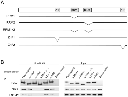 MATR3 binds RNA via its RRM2 domain. ( A ) Schematic presentation of MATR3 domains and deletion of specific domains in different constructs used in this study. ( B ) HEK293T cells were transfected with the indicated MATR3 expression constructs. FLAG-conjugated beads were used for immunoprecipitation and the immune complexes were blotted with the indicated antibodies.