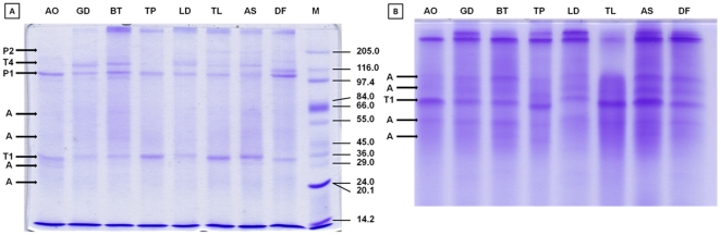 Coomassie stained tris-glycine 8×10 cm SDS-PAGE of proteins purified from eight species of synanthropic acaridid mites. A) Reducing 10% SDS-PAGE, 10 µg protein per lane; B) Reducing 20% SDS-PAGE, 10 µg protein per lane (figure has been shortened). Legend: A – actin; T1 – tropomyosin monomer; T4 – tropomyosin tetramer; P1 – paramyosin monomer; P2 – paramyosin dimer; AO – Aleuroglyphus ovatus ; GD – Glycyphagus domesticus ; BT – Blomia tropicalis ; TP – Tyrophagus putrescentiae ; LD – Lepidoglyphus destructor ; TL – Tyroborus lini ; AS – Acarus siro ; DF – Dermatophagoides farinae ; M – marker.