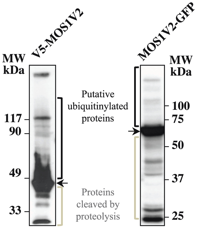 Molecular weight patterns of over-expressed MOS1 fusion in HeLa cells. Proteins extracted from HeLa cells over-expressing V5-MOS1 or <t>MOS1V2-GFP</t> were analyzed by immunoblotting after separation by polyacrylamide gel electrophoresis. V5-MOS1 and MOS1V2-GFP were repectively revealed by first hybridizing a mouse anti-V5 monoclonal antibody or a rabbit <t>polyclonal</t> anti-GFP a mouse a rabbit polyclonal anti-GFP. The filters were then incubated with horseradish peroxidase-conjugated anti-mouse IgG or anti-rabbit IgG, followed by development using enhanced chemiluminescence.