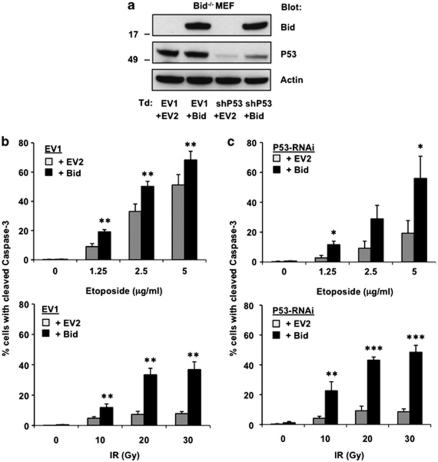 The p53 status can influence the reliance on Bid for etoposide- and IR-induced apoptosis. SV40-transformed Bid −/− MEFs were retrovirally transduced (Td) with an empty RNAi vector (EV1) or with p53 shRNA, together with an empty expression vector (EV2) or a vector encoding WT Bid. ( a ) Validation of p53 downregulation by p53 shRNA and Bid expression from the introduced vector in the relevant MEF cell lines, as demonstrated by immunoblotting with antibodies to p53 and Bid on total cell lysates. Immunoblotting for actin served as a loading control ( b , c ) Sensitivity of control (EV1-transduced) MEFs ( b ) and p53-deficient (p53-RNAi) MEFs ( c ) to apoptosis induction by DNA-damaging regimens. Cells were exposed to the indicated dosages of etoposide or IR. Apoptosis levels were determined as the percentage of cells with cleaved caspase-3 after 24 h (etoposide) or 48 h (IR). Data presented are expressed as means of three independent experiments±s.d. Statistically significant differences between values of EV and Bid samples are indicated for * P