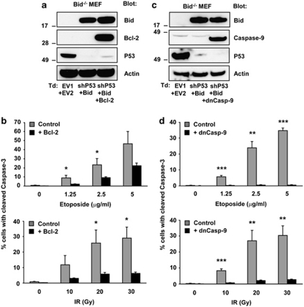 Bid-dependent apoptosis in response to etoposide and IR proceeds via the mitochondria. p53-RNAi Bid −/− MEFs that had been transduced to stably express WT Bid were used as such (control) or additionally transduced (Td) to express Bcl-2 or dnCasp-9. ( a , c ) Downregulation of p53 by RNAi and expression of Bid, Bcl-2 or dnCasp-9 protein from the introduced vectors were validated by immunoblotting on total cell lysates, where actin served as a loading control. ( b ) Control or Bcl-2-expressing cells were exposed to the indicated dosages of etoposide or IR. Apoptosis levels were determined as the percentage of cells with cleaved caspase-3 after 24 h (etoposide) or 48 h (IR). ( d ) Control or dnCasp-9-expressing cells were exposed to the indicated dosages of etoposide or IR and apoptosis was read out as indicated for panel ( b ). Data presented in ( b ) and ( d ) are expressed as means of three independent experiments±s.d. Statistically significant differences between values of control and Bcl-2 or dnCasp-9 samples are indicated for * P