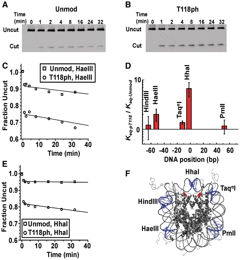 H3(T118ph) increases DNA accessibility near the dyad symmetry axis. ( A and B ) PAGE analysis of unmodified and H3(T118ph) nucleosomes, respectively, digested with HhaI. The lanes are labeled with the digestion quench time in minutes. ( C ) and ( D ) Plots of the fraction of HaeIII and HhaI undigested DNA, respectively. Digestions of unmodified (squares) and H3(T118ph) (circles) nucleosomes were fit with a single exponential decay. ( E ) Plot of the site accessibility of H3(T118ph) nucleosomes, K eq-pT118 relative to the site accessibility of unmodified nucleosomes, K eq-unmod , for five separate RE sites. The error bars were determined from the standard deviation of at least three separate experiments. ( F ) The nucleosomes crystal structure ( 40 ) with the five RE sites is shown in blue and the two H3(T118) residues are shown in red.