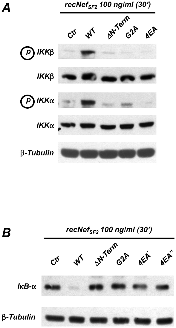 Nef induces NF-κB signalling in an Acidic Cluster dependent manner. Seven days old human primary MDMs were treated for 30′ with 100 ng/ml of myr + wild type (WT) recNef, the protein lacking the first 44 aminoacids (ΔN-Term), mutated in the myristoylation site (G2A) or myr + recNef 4EA mutant. Total cell protein extracts (50 µg) were analyzed by Western Blot as reported in Materials and Methods section using specific anti phospho-IKKα/IKKβ and anti IKKα/IKKβ ( A ) or with anti IκB-α ( B ) antibodies. In both ( A ) and ( B ) β-tubulin steady-steate expression level was used as an internal loading control. Results shown represent one out three different donors.