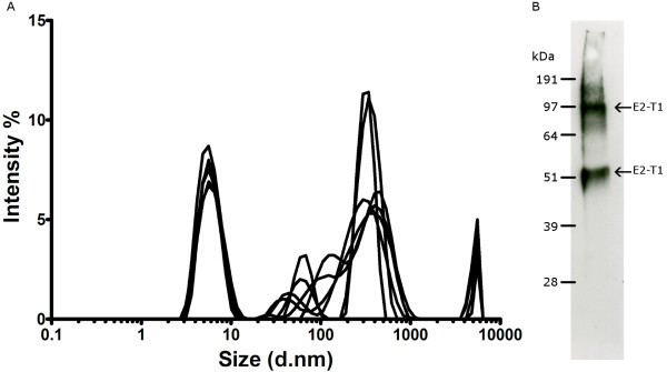 (A) Dynamic Light Scattering analysis of E2-T1 . E2-T1 protein was dialysed into 50 mM Tris (pH 7.0) containing 0.2% <t>Igepal</t> <t>CA630.</t> The graph shows size distribution by intensity for physical size determination. Six measurements of 30 readings each were performed. (B) Western blot of purified E2-T1. E2-T1 protein was run under non-reducing conditions and probed with mouse sera raised against E2-T1.