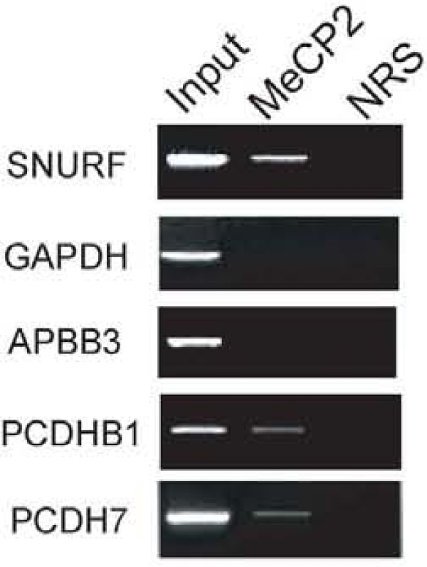 MeCP2 binds to the promoter region of two target genes in SH-SY5Y cells . Immunoprecipitation (IP) was performed using an anti-MeCP2 antibody or normal rabbit serum (NRS) as negative control. Equal amounts of precleared chromatin were processed without IP as total input control. The purified DNA was amplified by PCR using primers located within the 1.0 kb upstream genomic regions from the transcriptional start sites of the APBB3, PCDHB1, or PCDH7 genes. SNURF/SNRPN was used as a positive control for a promoter previously demonstrated to bind MeCP2. GAPDH was used as a negative control.