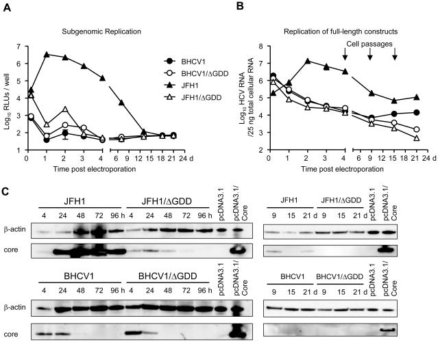 Replication studies of the BHCV1 isolate. (A) Luciferase activity in the electroporated cells with the sugbenomic RNAs in both transient (4 h–4 d) and mid-term fashions (4 d–21 d). (B) HCV <t>RNA</t> in the electroporated cells at similar time points as determined by quantitative reverse-transcription real-time <t>PCR</t> (qRT-PCR). For A and B, data represent the mean values from duplicate wells, each measured in triplicate, from a representative experiment of 3 (mean ± SD; n = 6). (C) Western blot analysis of core protein in electroporated cells with full-length RNAs expressed intracellularly in short-term (4–96 h) and mid-term fashions (9–21 d). Positive and negative control cell lysates were obtained from Huh7.5 cells transfected with a core protein expression plasmid under the control of the CMV promoter (pcDNA3.1/Core) or an empty plasmid (pcDNA3.1), respectively.