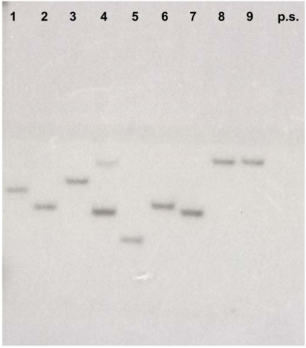 Determination of marker gene copy number by Southern blot hybridization . Southern-blot analysis of digested ( PstI ) genomic <t>DNA</t> from 9 randomly isolated paromomycin resistant mutants. A fragment of the AphVIII gene labeled with 32 <t>P-dNTPs</t> was used as probe. As shown, most transformants have a single copy of the integrated marker gene. Only the transformant represented in lane 4 may have two insertions (indicated by the two hybridizing bands). p.s., parental strain used to obtain the transformants.