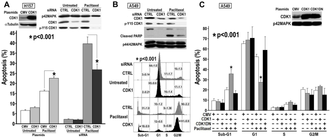 Modulation of CDK1 protein level and activity and sensitivity of NSCLC cells to Paclitaxel treatment. A. CDK1 protein over or under expressed in H157 cells. Cells were transfected with CDK1 plasmid or siRNA, 48 h or 72 h later, were treated with 1 µM paclitaxel for 2 days. CDK1 protein level was monitored by CDK1 or p-Y15 CDK1 antibodies. Sub-G1 DNA content was determined by flow cytometry. B. Knockdown of CDK1 in A549 cells. Cells were transfected with CDK1 siRNA, 72 h later, treated with 1 µM paclitaxel for 2 days. Apoptosis was determined by PARP cleavage using immunoblotting or sub-G1 DNA content using flow cytometry. CDK1 protein level was monitored by CDK1 or p-Y15 CDK1 antibodies. C. Overexpression of CDK1 or CDK1DN in A549 cells. Cells were transfected with CDK1 or CDK1DN plasmids, 48 h later, cell cycling stopped by overnight pretreatment of low serum (0.1% FBS) medium with PI3K inhibitor LY294002 (10 µM), then cells were treated with 1 µM paclitaxel in low serum medium containing LY294002 (10 µM, freshly added) for 2 days. Sub-G1 fraction and cell cycle profile were determined by flow cytometry. Over expression of CDK1 and CDK1DN was detected by CDK1 antibody.