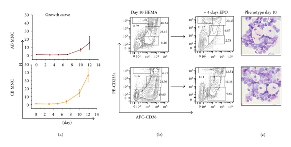 MNC from AB and CB generate great numbers of EBs under HEMA conditions. (a) Cell number (as Fold Increase, FI, with respect to day 0), (b) maturation profile (cytofluorimetric analysis on the basis of the expression of CD36 and CD235a), and (c) representative morphology (by May-Grunwald staining) of EBs generated in HEMA culture seeded with MNC from either CB or AB. The ability of CB and AB EBs obtained at day 10 to proceed along the maturation pathway after 4 days of culture in the presence of EPO only is also compared (b). The flow cytometric profile used to define EBs maturation is presented in Supplemental Figure 3. The flow charts are representative of those obtained in at least three independent experiments with MNC from different CB or AB donors. The numbers in the quadrants present the frequency of EBs in the gates R1 to R4. Frequencies obtained in multiple experiments are presented as mean (±SD) in Table 1 .
