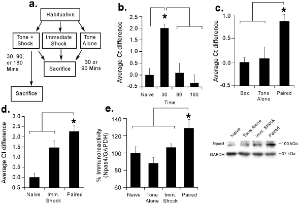 Regulation of Npas4 mRNA and protein in the LA following fear conditioning. (A) Schematic of the behavioral protocol for qRT-PCR and Western experiments. (B) Time course analysis of Npas4 mRNA expression in the LA following fear conditioning using qRT-PCR (n = 8/group). *p