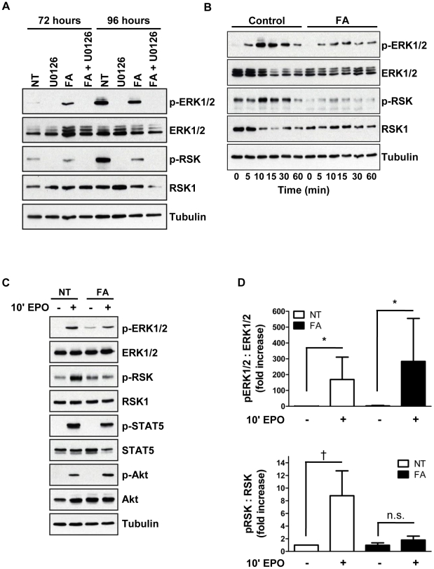 Aconitase inhibition interferes with EPO activation of ERK signaling in a pathway-specific manner. ( A ) Steady state phosphorylation of ERK and RSK as determined by immunoblotting of whole cell lysates of cells from days 3–4 erythroid cultures treated with 50 µM FA and 10 µM U0126 as indicated (NT, untreated). ( B ) Time course of ERK1/2 and RSK phosphorylation. Cells from day 3 erythroid cultures ±50 µM FA were subjected to 3 hours of cytokine starvation followed by stimulation with 4.5 U/ml EPO for the indicated time periods. ( C ) EPO induction of multiple downstream pathways in cells treated as in panel B . ( D ) Densitometric analysis of pERK1/2:ERK1/2 and pRSK:RSK levels in five independent experiments conducted as in panel C . Presented are mean values ± SEM for relative phosphoprotein signal divided by total protein signal; * P