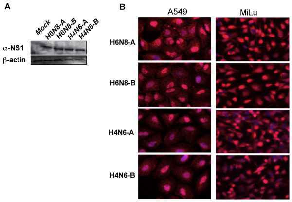 Expression patterns of allele A and allele B NS1 proteins in subcellular compartments in A549 and MiLu cells . (A) A549 cells were transfected with vector encoding NS1 from H6N8-A, H6N8-B, H4N6-A, H4N6-B or empty pcDNA3.1+ vector (mock treated). 24 hours post-transfection cells were lysed and subjected to Western blotting and probed with anti-NS1 and β-actin antibodies. (B) A549 and MiLu cells were transfected with vector encoding NS1 from H6N8-A, H6N8-B, H4N6-A, H4N6-B. 18 hours post transfection, cells were fixed and processed for in situ PLA, as recommended.