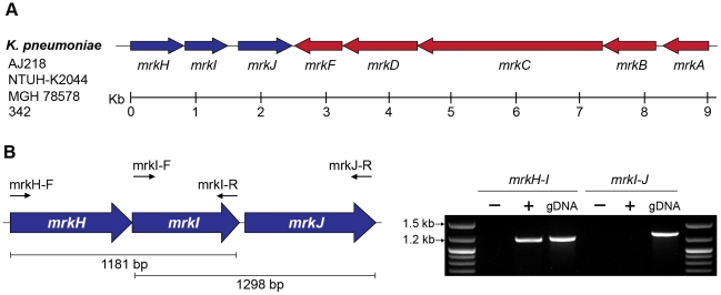 The mrkABCDF and mrkHIJ loci in K. pneumoniae AJ218. ( A ) Genetic organization of the mrkABCDF and mrkHIJ gene clusters from K. pneumoniae strains AJ218, NTUH-K2044 (GenBank Ref: AP006725), MGH 78578 (GenBank Ref: CP000647) and 342 (GenBank Ref: CP000964). ( B ) RT-PCR analysis of mrkHIJ transcription. PCR amplicon products of either RNA (−), reverse transcribed DNA (+) or genomic DNA (gDNA) were visualized on a 1% agarose gel. The mrkH-I product was generated with primer mrkI-R and amplified with primers mrkH-F and mrkI-R. The mrkI-J product was generated with primer mrkJ-R and amplified with primers mrkI-F and mrkJ-R.