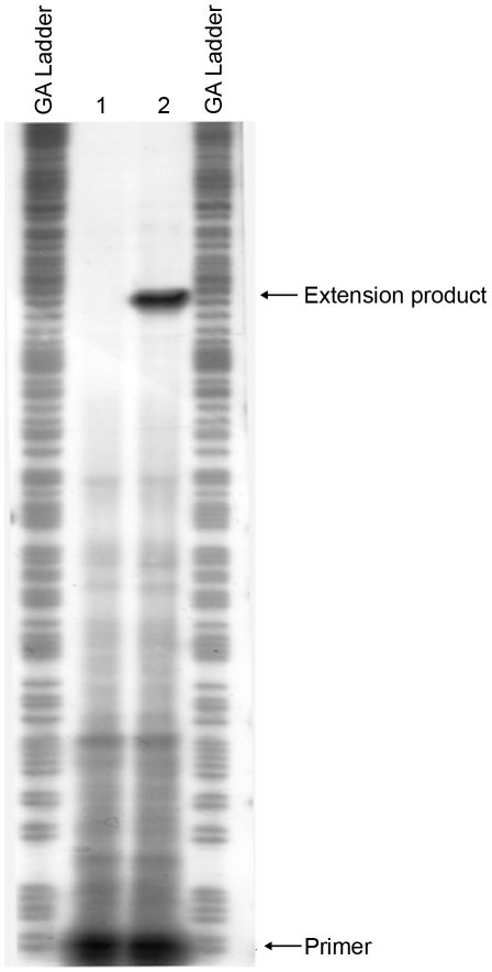 Mapping the start site of transcription of the mrkA promoter by primer extension. Total cellular RNA was purified from E. coli MC4100 strains containing pMrkH with either pMU2385 (control) or mrkA-lacZ -2. The RNA samples were then hybridized with 32 P-labelled primer Px1mrkARev. Primer extension was performed using AMV reverse transcriptase in the presence of dNTPs. GA Ladder: GA sequence ladder prepared using the mrkA PCR fragment generated using primer pairs 32 P-Px1mrkARev and mrk295F. Lane 1: control experiment using RNA from E. coli MC4100 strain containing pMrkH and pMU2385. Lane 2: experiment using RNA from E. coli MC4100 strain containing pMrkH and mrkA-lacZ -2. The positions corresponding to 32 P-Px1mrkARev primer and the extension product are marked.