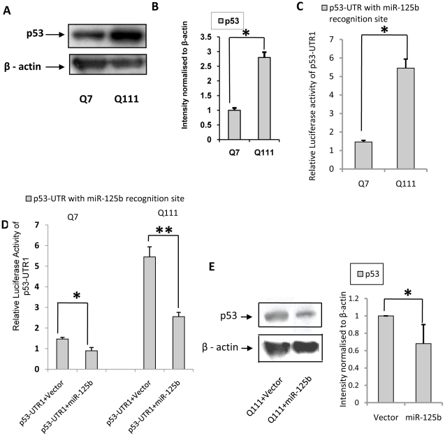 Endogenous expression of p53 in ST Hdh Q7 /Hdh Q7 and ST Hdh Q111 / Hdh Q111 cells: decreased miR-125b target p53. ( A ) Representative Western Blot showing increased p53 protein level in ST Hdh Q111 / Hdh Q111 cells compared to ST Hdh Q7 /Hdh Q7 cells; ( B ) Average integrated optical density (IOD) of p53 protein bands in A , normalized to β-actin level (n = 3, p = 0.024) in these cell lines. ( C ) Relative luciferase activity of cloned p53-3′UTR with miR-125b binding site (denoted by p53-UTR1) in ST Hdh Q111 / Hdh Q111 cells compared to ST Hdh Q7 /Hdh Q7 cells. Normalization of protein level between ST Hdh Q111 /Hdh Q111 cells and ST Hdh Q7 /Hdh Q7 cells was done by taking the ratio of RLU of cloned construct i.e. p53-UTR1 and empty vector pmiR. Relative luciferase activity of p53-UTR1 was found significantly higher (n = 3, p = 0.026) in ST Hdh Q111 /Hdh Q111 cells compared to ST Hdh Q7 /Hdh Q7 cells; ( D ) Reduced luciferase activity of p53-UTR1 co-transfected with pre-miR-125b in ST Hdh Q7 /Hdh Q7 cells (n = 3, p = 0.024) and ST Hdh Q111 /Hdh Q111 cells (n = 3, p = 0.0086) compared to those obtained in respective empty vector U61 tansfected cells; ( E ) Representative Western Blot showing reduction in p53 protein level in ST Hdh Q111 /Hdh Q111 cells 72 hours following transfection with pre-miR-125b compared to ST Hdh Q111 /Hdh Q111 cells transfected with empty vector U61, average IOD compared to β-actin (n = 3, p = 0.039) is shown in the adjacent bar diagram.