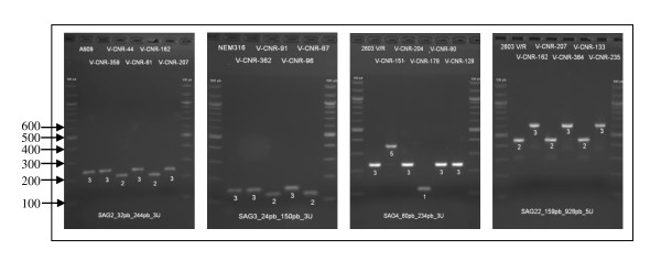 Polymorphism of four VNTRs . The polymorphism of VNTRs (SAG2, SAG3, SAG4 and SAG22) is shown by agarose gel electrophoresis of <t>PCR</t> products. The first strain on each gel is the reference strain and the PCR products were loaded alongside a 100 bp <t>DNA</t> size ladder (the sizes in base pairs are shown on the left side of the first panel). The allele number, corresponding to the number of repeats, is indicated under the band.
