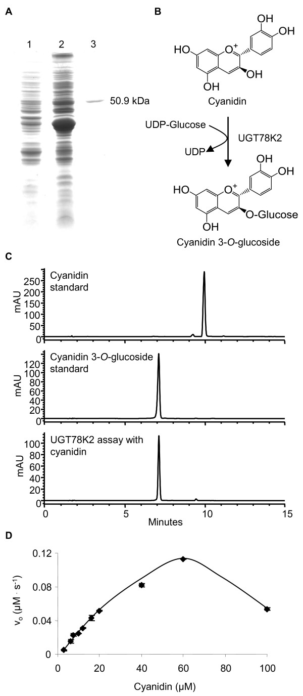 Purification of his-tagged UGT78K2 and determination of the reaction product and kinetics for cyanidin . (A) SDS-PAGE analysis of UGT78K2: total soluble protein from E. coli expressing UGT78K2 prior to induction with 100 lM IPTG (lane 1), 24 h post-induction (lane 2); IMAC-purified UGT78K2 (lane 3). (B) The UGT78K2 enzyme reaction as revealed by HPLC-DAD chromatograms at 520 nm (C). HPLC retention times: cyanidin (Rt: 10.1 min); cyanidin 3- O -glucoside (Rt: 7.1 min). (D) UGT78K2 kinetics for the cyanidin acceptor substrate using 5 mM UDPG as a sugar donor. Points represent the mean of three assays ± the standard deviation.
