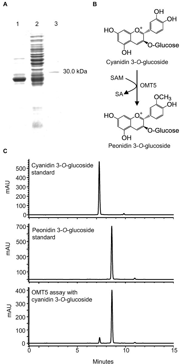 Purification of his-tagged OMT5 and determination of the reaction product for cyanidin 3- O -glucoside . (A) SDS-PAGE analysis of OMT5: total soluble protein from E. coli expressing OMT5 prior to induction with 100 lM IPTG (lane 1), 24 h post-induction (lane 2); IMAC-purified OMT5 (lane 3). (B) The OMT5 enzyme reaction as revealed by <t>HPLC-DAD</t> chromatograms at 520 nm (C). HPLC retention times: cyanidin 3- O -glucoside (Rt: 7.3 min); peonidin 3- O -glucoside (Rt: 8.6 min).