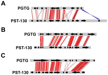 Microsynteny between <t>PST-130</t> and PGTG contigs. Microsynteny between PGTG [AAWC01001263 (A), AAWC01003253 (B), AAWC01000559 (C) [5] ] and PST-130 (PST130_8308, PST130_8617, PST130_7101) contigs. <t>Contig</t> alignment and similarity visualization was done using ACT-Artemis Comparison Tool ( http://www.sanger.ac.uk/resources/software/act/ ). Red and blue lines indicate similar regions between PST-130 and PGTG contigs (% identity ≥60). Blue lines indicate inversions. Arrows correspond to putative genes predicted by geneid in PST-130 contigs and annotated genes in PGTG contigs [5] .