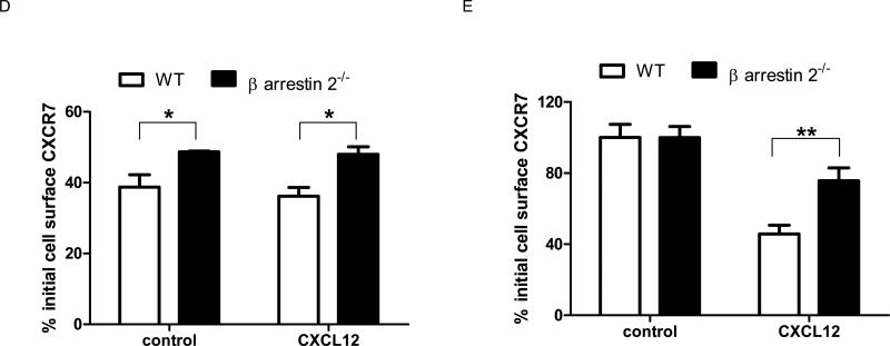 Clathrin-mediated endocytosis and β-arrestin 2 regulate CXCR7-dependent accumulation of chemokines, receptor internalization, and total cell membrane CXCR7 (A) 231-CXCR7 (CXCR7) and 231-control (231) cells were incubated with 0.4M sucrose, 80 μM dynasore, or vehicle control for 30 minutes prior to incubation with ≈ 4 ng/ml CXCL12-GL for various periods of time. Amounts of intracellular chemokine were normalized to total protein per well and graphed as mean ± SEM at each time point (n = 4 per condition). *, p