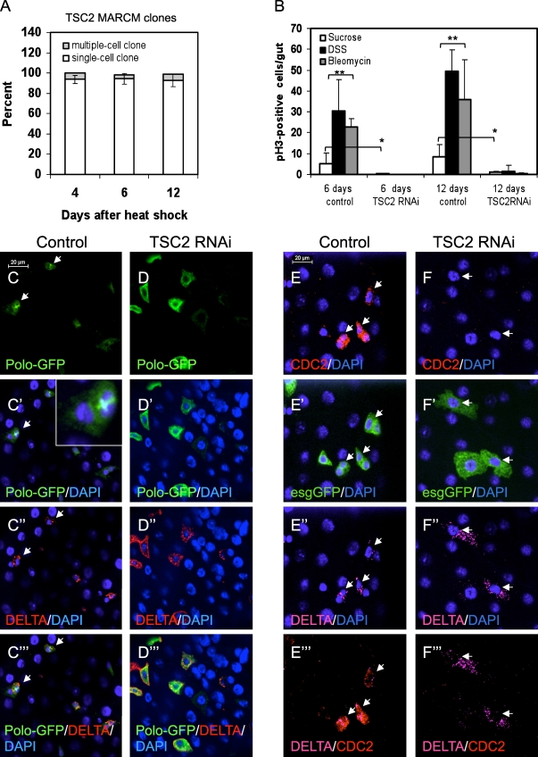 Loss of TSC causes defects in mitotic regulators and ISC division. (A) The number of days after heat shock induction of mitotic recombination in TSC2 193 mutant MARCM flies is indicated. The guts were stained for Delta. GFP+ clusters or single cells that also contained Delta were counted. If a cluster contained two or more GFP+ cells, it was counted as a multiple-cell clone. Most Delta+ MARCM cells remained as single cells. n ≥ 175. (B) The TSC2 RNAi was v6313 crossed with the esg > GFP;tubulin-Gal80 ts flies. The control guts had ∼5–10 mitotic cells after 6 or 12 d of incubation at 29°C, whereas the TSC2 RNAi guts had almost no detectable mitotic cells after a similar incubation (white bars). Feeding of DSS or bleomycin increased the mitotic cell counts in the control flies, but similar feeding could not increase mitotic cell counts in the TSC2 RNAi flies. Three independent experiments were performed, and four guts were counted for each sample. (C–D‴) The Polo-GFP is a protein trap line. The expression was detected by anti-GFP immunofluorescent staining. Most Polo-GFP+ cells also had Delta staining. In some wild-type cells, the GFP fusion is enriched at the metaphase plate (arrows in C–C‴ and inset in C'). In TSC2 RNAi flies, the Polo-GFP was still detectable in the cytoplasm of Delta+ cells, but almost none of them showed metaphase plate staining. (E–F‴) The control was esg > GFP, and Cdc2 and Delta antibodies were used for immunofluorescent staining. The arrows in these panels indicate Delta+ cells. In control guts, all Delta+ cells also had Cdc2 staining. In TSC2 RNAi guts, the esg > GFP+;Delta+ cells were larger, but they did not contain Cdc2 staining. Error bars are standard deviations. *, P