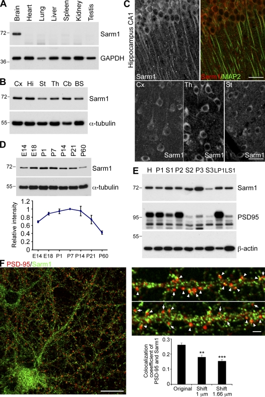 Sarm1 is widely expressed in rodent brain and neurons. (A) Immunoblot of Sarm1 in different mouse organs. GAPDH is used as an internal control. (B) Regional distribution of Sarm1 in mouse brain. Cx, cerebral cortex; Hi, hippocampus; St, striatum; Th, thalamus; Cb, cerebellum; BS, brain stem. α-Tubulin was used as an internal control. (C) Staining patterns of Sarm1 in mouse brain. The top right shows the merged image of the MAP2/Sarm1 double stain in the CA1 region of the hippocampus. The top left and bottom panels depict the Sarm1 patterns in brain regions including layer five of the somatosensory cortex (Cx), the posterior thalamic nuclear group (Th), and the caudate putamen of the striatum (St). 2-mo-old mice were used in A–C. (D) Developmental expression profile of Sarm1. The plotted relative Sarm1 protein expression levels were obtained by normalization to the corresponding α-tubulin protein amounts. The results are the means of three independent experiments. Error bars indicate SEM. (E) Distribution of Sarm1 protein in biochemical subcellular fractions of adult mouse brain. H, total homogenate; P1, nuclei and cell debris; S1, supernatant of P1; P2, crude synaptosomal fraction; S2, supernatant of P2; LP1, lysed synaptosomal membrane; LS1, supernatant of LP1; P3, light membrane fraction; S3, soluble cytosolic fraction. PSD-95 enriched in the P2 and LP1 fractions was used as a quality control of fraction preparation. Molecular mass standards (kD) are indicated next to the gel blots. (F) Distribution of PSD-95 (red) and Sarm1 (green) in cultured hippocampal neurons at 21 DIV. Representative high-magnification images are shown on the top right. Arrowheads indicate the Sarm1 puncta overlapping with PSD-95; arrows indicate the Sarm1 puncta adjacent to PSD-95 puncta. The percentage of overlapped Sarm1 and PSD-95 is shown on the bottom right. The original images and the overlays shifted for 1 and 1.66 µm were analyzed. Error bars indicate mean values ± SEM. **, P