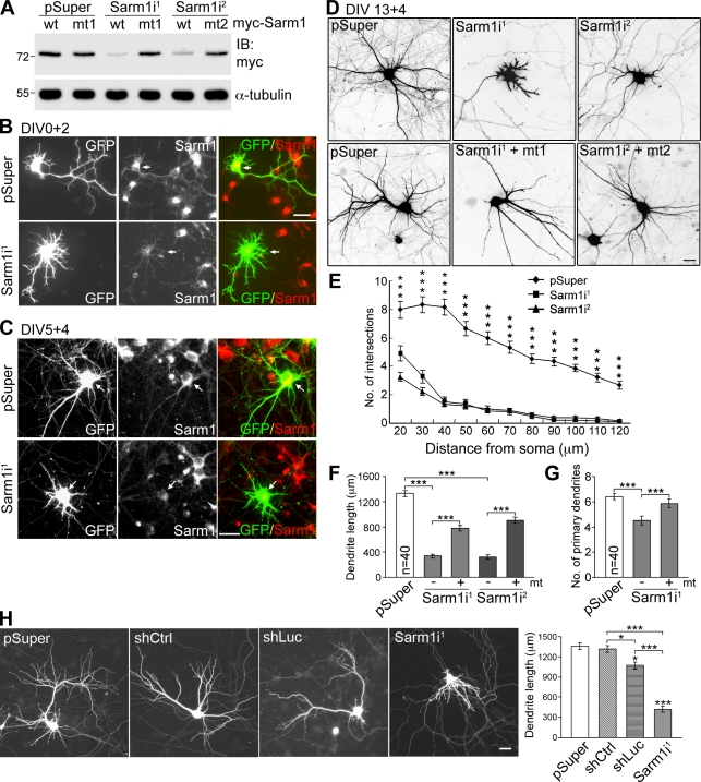 Sarm1 is critical for dendritic arborization in cultured hippocampal neurons. (A) Sarm1 knockdown in COS-1 cells via cotransfection of Sarm1i 1 , Sarm1i 2 , or pSuper control and Myc-tagged wild-type Sarm1 or specific silent mutants resistant to Sarm1i 1 and Sarm1i 2 (mt1 and mt2). Immunoblotting was performed with Myc tag and α-tubulin antibodies. Molecular mass standards (kD) are indicated next to the gel blots. (B and C) Knockdown of Sarm1 in cultured hippocampal neurons. Neurons were transfected with the indicated plasmids at 0 (B) or 5 DIV (C) and immunostained with Sarm1 and GFP antibodies at 2 (B) or 9 DIV (C). Arrows point to transfected neurons. (D) Sarm1 knockdown affects dendritic arbors. At 13 DIV, cultured hippocampal neurons were transfected using the plasmids indicated. Neuronal morphology was monitored by GFP signals at 17 DIV. (E) Sholl analysis of the effect of Sarm1 knockdown. ***, P