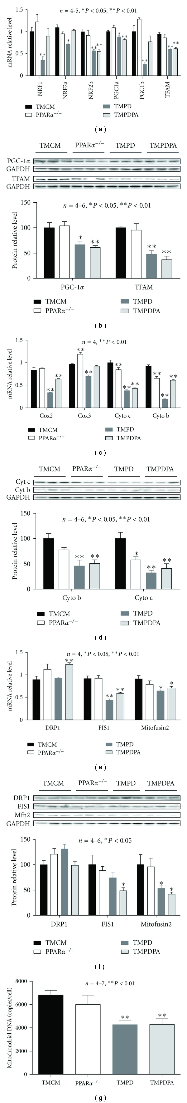 Expression of key determinants of mitochondrial biogenesis and mitochondrial proteins. (a) Real-time PCR measurement of transcript levels of NRF-1, NRF2 (a and b subunits), <t>PGC-1</t> α and -1 β , and <t>TFAM</t> on samples from TMCM, PPAR α −/− , TMPD, and TMPDPA hearts. (b) Western blotting analyses of relative protein levels of PGC-1 α and TFAM on samples of nuclear proteins extracted from ventricular tissues of TMCM, PPAR α −/− , TMPD, and TMPDPA mice. (c) Transcript expression of mitochondrial proteins on samples from TMCM, PPAR α −/− , TMPD, and TMPDPA hearts. (d) Protein expression of mitochondrial proteins on samples from TMCM, PPAR α −/− , TMPD, and TMPDPA hearts. (e) Transcript expression of mitochondrial fission and fusion proteins on samples from TMCM, PPAR α −/|− , TMPD, and TMPDPA hearts. (f) Protein expression of mitochondrial fission and fusion proteins on samples from TMCM, PPAR α −/− , TMPD, and TMPDPA hearts. (g) The mitochondrial DNA copy number on samples from TMCM, PPAR α −/− , TMPD, and TMPDPA hearts. * P