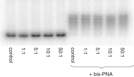 Gel shift studies of plasmid DNA bound with PNAs. After incubation with PNAs (TE plus 20 mM KCl, pH 7.4, 37°C, overnight) at varying PNA molar ratios, with (right) or without (left) bis-PNA, plasmids were cut with SpeI and Pst1 restriction enzymes followed by 3′- 32 P labeling with [α- 32 P]-dCTP (Perkin Elmer) by Klenow fragment of DNA polymerase I. After purification on G-50 microcolumns samples were analyzed in native 6% polyacrylamide gel electrophoresis.