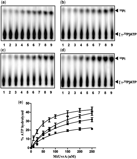 Mycobacterium tuberculosis UvrA is a DNA-dependent ATPase. Reactions mixtures contained 100 nM of the indicated DNA co-factor, 50 μM [γ- 32 P]ATP in the absence (lane 1) or presence of 10, 25, 50, 75, 100, 150, 200 and 250 nM Mt UvrA (lanes 2–9), respectively. Panels: ( a ), Mt UvrA alone; ( b ), Mt UvrA in the presence of single-stranded DNA (ODN8); ( c ) Mt UvrA in the presence of non-damaged duplex DNA (ODN1 annealed to ODN6); ( d ) Mt UvrA in presence of damaged duplex DNA (ODN7 annealed to ODN8) (ODN sequences are listed in Supplementary Table S1 ). The positions of [γ- 32 P]ATP and 32 Pi is indicated on the right-hand side. Panel ( e ): graphical representation of ATPase activity of Mt UvrA as a function of protein concentration. The percentage of [γ- 32 P]ATP hydrolyzed, in panels a–d, is plotted against the indicated amounts of Mt UvrA. (filled square), Mt UvrA in absence of DNA; (filled circle), Mt UvrA in the presence of single-stranded DNA; (filled triangle), Mt UvrA in the presence of non-damaged duplex DNA; (inverted filled triangle), Mt UvrA in the presence of damaged duplex DNA. Each point on the curves represents the mean of three separate experiments. Non-linear regression analysis (Michaelis-Menten) was applied to the data sets, using GraphPad PRISM ver5.00, for obtaining the best-fit curve.