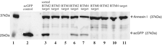 Detection of full-length acGFP restoration by western blot analysis. After co-transfection of target molecule and either RTM 2 (lane 6), 4 (lane 7), or 3 (lane 4), acGFP protein (27 kDa) was detected by western blot analysis. As positive control, total-cell extract from acGFP control vector (acGFP cloned in pcDNA 3.1D/V5-HIS vector, Invitrogen) transfected HEK293AD cells was also included (lane 2). Lane 3 demonstrates a significant increase (∼3-fold) in the amount of acGFP protein in acGFP positive cells collected by FACS sorting of HEK293AD cells co-transfected with RTM 2 and target expression plasmids (lane 3) compared to total cell extract from co-transfected HEK293AD cells without sorting (lane 6). No detectable acGFP expression was visible after single transfection of target molecule (lane 11), RTM 4 (lane 10) or RTM 2 (lane 9) into HEK293AD cells. No expression of acGFP was detected by western blot analysis of HEK293AD cells co-transfected with target molecule and either RTM 1 (lane 5) or RTM 0 (which is missing a specific BD for intron 52, lane 8). Annexin I (37 kDa) was included as the loading control for this experiment. Lane 1: Precision Plus Protein <t>WesternC</t> Standards (Biorad).