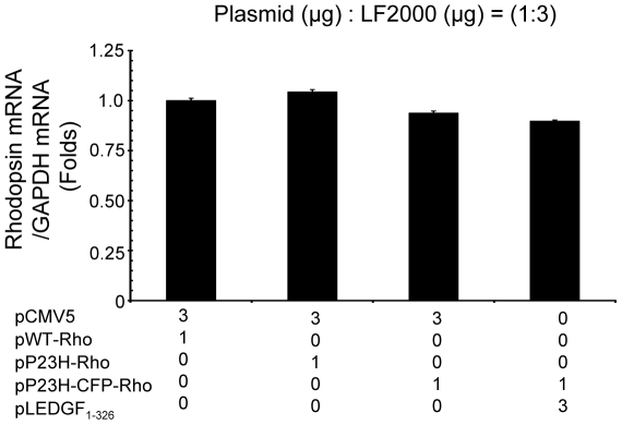 LEDGF 1-326 does not alter the transcription level of P23H rhodopsin. mRNA was isolated from transfected ARPE-19 cells using the RNeasy kit. To remove contaminating genomic DNA, 10 µg RNA from each sample was treated with DNase using the Turbo DNA free kit. First strand synthesis was done using the high capacity RNA to DNA. PCR was performed to amplify the DNA on an ABI 7500 PCR machine. The threshold thermal cycle was used to calculate the mRNA level of rhodopsin and was normalized to GAPDH mRNA level. Data is expressed as mean ± S.D. for N = 3. Data was considered significant at p