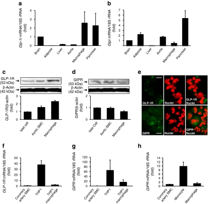 Expression and abundance of <t>GLP-1R</t> and GIPR in monocytes/macrophages and arterial SMCs. a Glp1r and ( b ) Gipr mRNA in exudate peritoneal macrophages and tissues as labelled from non-treated Apoe −/− mice were measured by real-time RT-PCR. c Western blotting analyses of GLP-1R and ( d ) GIPR abundance in exudate peritoneal macrophages of non-treated Apoe −/− mice and other mouse tissues as labelled. Three independent experiments were performed. e Immunostaining of GLP-1R or GIPR in exudate peritoneal macrophages from non-treated Apoe −/− mice. Green, GLP-1R or GIPR as indicated; red, nuclei; red + green, overlay of GLP-1R or GIPR and nuclei. Scale bars 50 μm. f GLP1R and ( g ) GIPR mRNA levels in human coronary artery SMCs, THP1 cells and THP1-derived macrophages. h GIPR mRNA level in human monocytes and monocyte-derived macrophages were measured by real-time RT-PCR. Results were obtained from three to six independent experiments